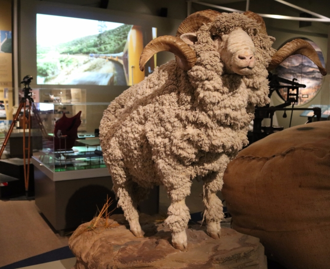 Merino Sheep in Otago Museum